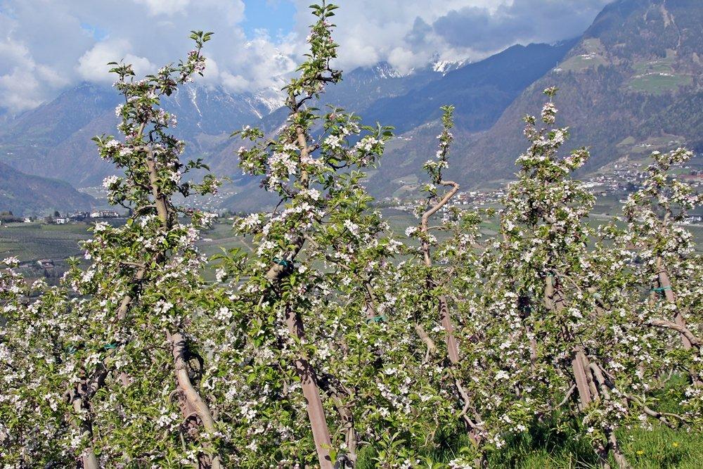 Was sollte man in Südtirol gemacht haben? Während der Apfelblüte durch die Apfelplantagen wandern