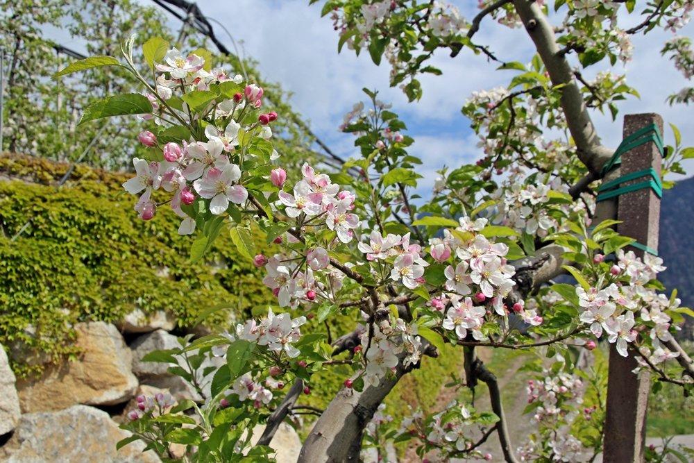 Was soll man in Südtirol gemacht haben? Unbedingt zur Apfelblüte nach Meran fahren